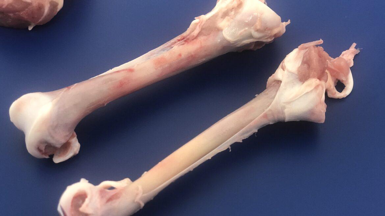 ST828 deboned chicken drumstick bones - drum - Automatic chicken deboning machine - dark meat deboner